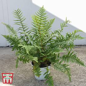 dryopteris affinis house plant