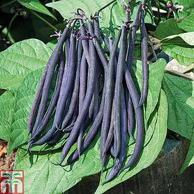 dwarf bean mistic french bean