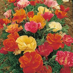 californian poppy monarch mixed