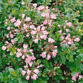 Escallonia Le Blossom