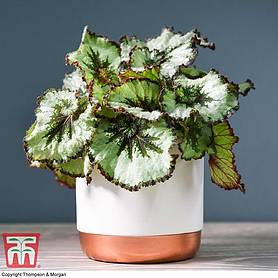 Begonia rex 'Escargot' (House plant)