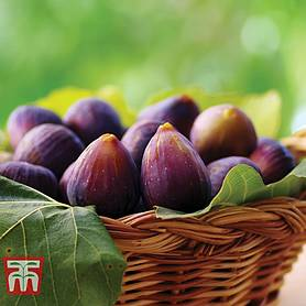 fig violette de bordeaux