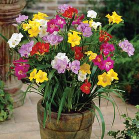 freesia patio perfection