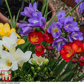 Freesia 'Patio Perfection'