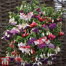 giant flowered fuchsia collection