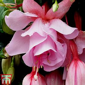 10 Fuchsia Postiplug plants for £4.99 with orders over £45