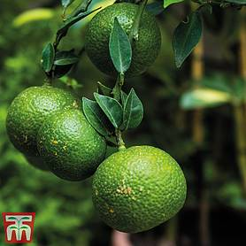 fruiting citrus lime  gift