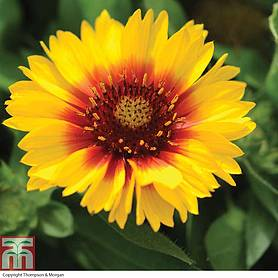 gaillardia mesa bright colour