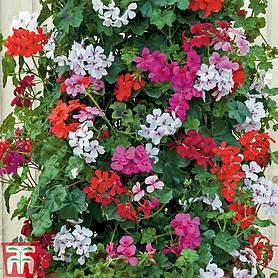 geranium gerainbowtrade mixed