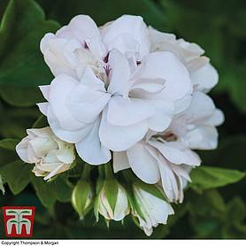 geranium white rose