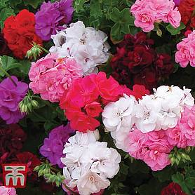 geranium rosebud collection