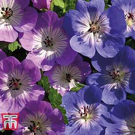geranium bloomtime  rozanne collection