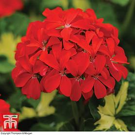 geranium happy thoughts red