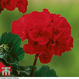 geranium grandeur classic collection