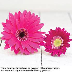 gerbera sweet collection