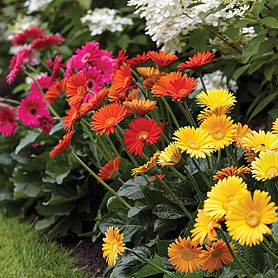 Gerbera 'Sweet Collection'