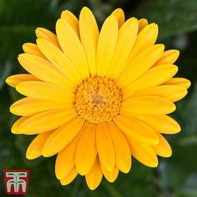 gerbera sweet honey