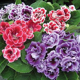 gloxinia speciosa brocade double mixed f hybrid
