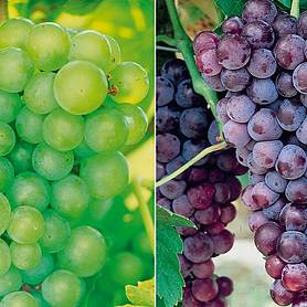 grape collection
