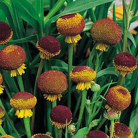 helenium puberulum autumn lollipop