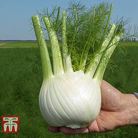 fennel dragon f hybrid