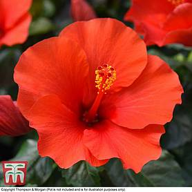 Hibiscus Shrubs For Sale In The Uk Thompson Morgan