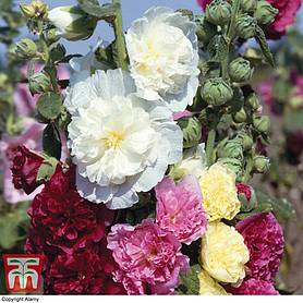 hollyhock chaters doubles