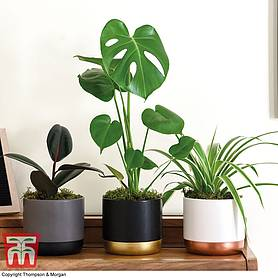 House Plant Urban Jungle Collection (3 plants)