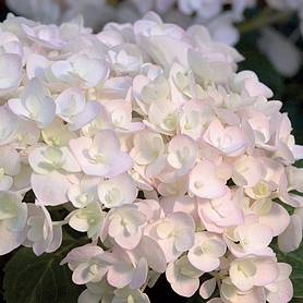 hydrangea macrophylla endless summer  blushing bride