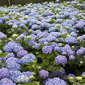 hydrangea macrophylla endless summer  the original
