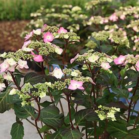 hydrangea macrophylla endless summer  twist amp shout