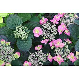 hydrangea serrata cotton candy flair  flavours