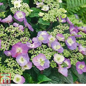 hydrangea serrata blueberry cheesecake