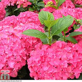hydrangea macrophylla red angel