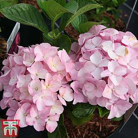 hydrangea macrophylla belle seduction