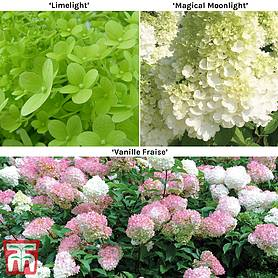 Hydrangea Premium Collection