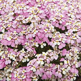 candytuft pink ice