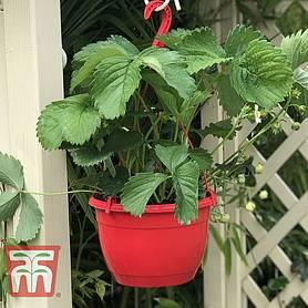 Strawberry Plants Thompson Morgan
