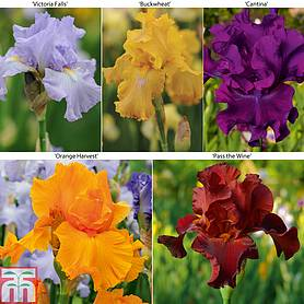 iris reblooming collection