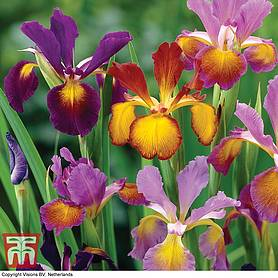 iris metallic mixture