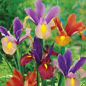 iris tiger mixed