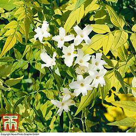 Jasminum officinale 'Fiona Sunrise'