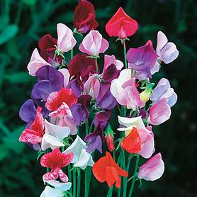 sweet pea heirloom mixed