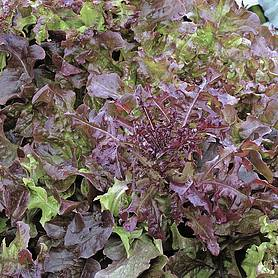 lettuce red salad bowl looseleaf  startagarden