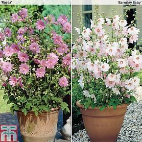 lavatera shrubs for sale in the uk thompson morgan. Black Bedroom Furniture Sets. Home Design Ideas
