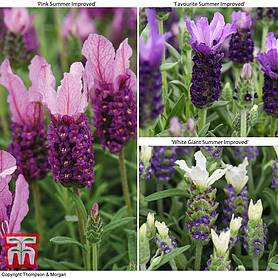 lavender summer collection butterfly garden