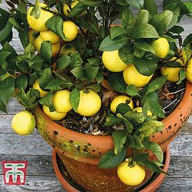fruiting citrus lemon