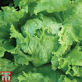 lettuce webbs wonderful icebergcrisphead