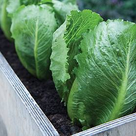 lettuce sweet success icebergromaine