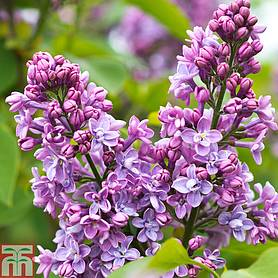 lilac charles joly